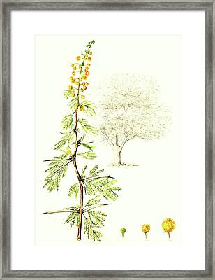 Framed Print featuring the painting Sweet Thorn Botanical Illustration by Heidi Kriel