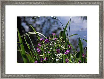 Sweet Violet Framed Print