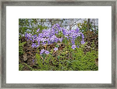 Sweet William Framed Print