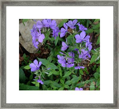 Sweet Williams In The Spring Framed Print