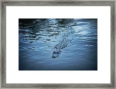 Swimming Alligator  Framed Print