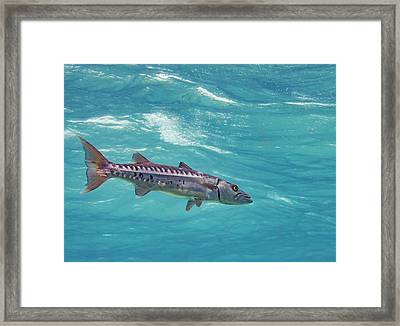 Swimming Barracuda Framed Print by Jean Noren