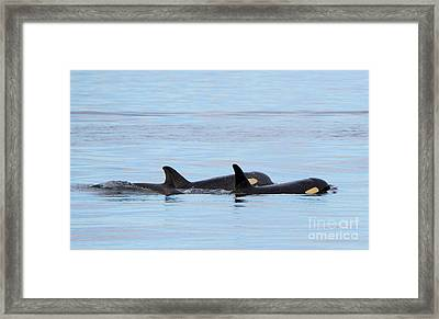 Swimming Close Framed Print by Mike Dawson