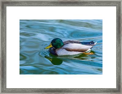 Swimming Duck Framed Print by Pamela Williams