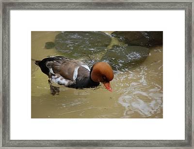 Swimming Duck Framed Print by Samantha Kimble