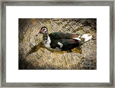 Swimming In Gold Wildlife Art By Kaylyn Franks Framed Print