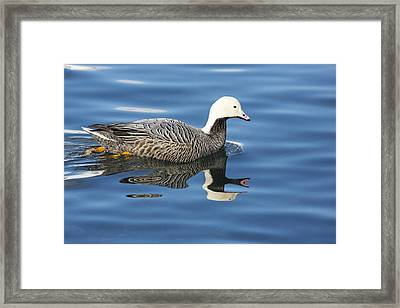 Swimming On Glassy Seas Framed Print