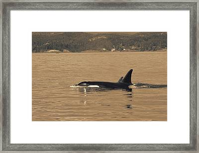 Swimming Orca And Calf  Framed Print