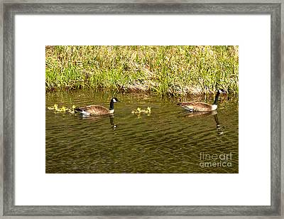 Swimming Up The Snake River Framed Print by Adam Jewell