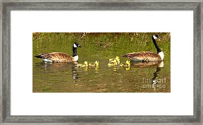 Swimming With The Youngsters In Teton Framed Print