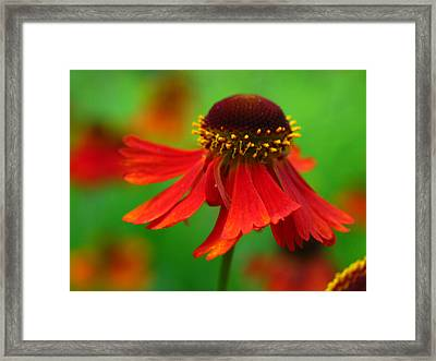 Swirling Sneezeweed Framed Print by Juergen Roth