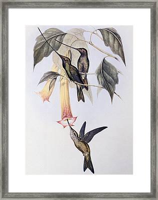 Sword-billed Humming Bird  Framed Print by John Gould