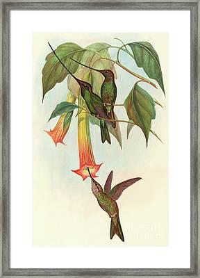 Sword Billed Hummingbird Framed Print by John Gould