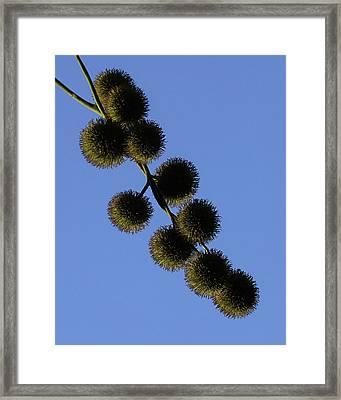Sycamore Balls Framed Print by Ernie Echols