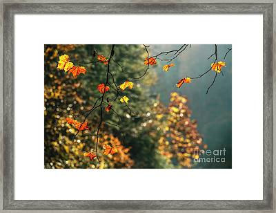 Sycamore Leaves In Autumn Framed Print by Thomas R Fletcher