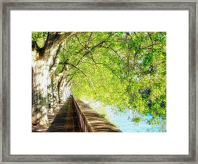 Sycamore Trees Along The Tiber River Framed Print by George Oze