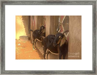 Synchronized Goat Standing Team Usa Framed Print