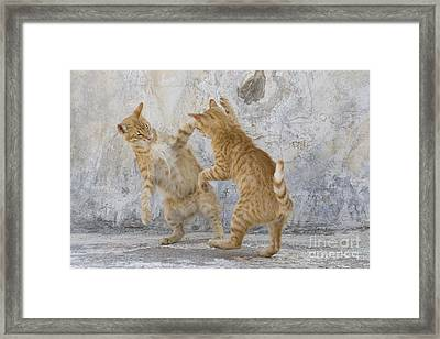 Tabby Cats Fighting Framed Print by Jean-Louis Klein & Marie-Luce Hubert