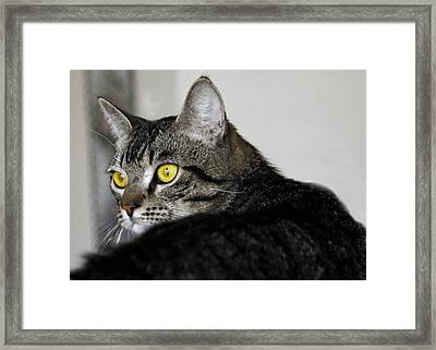 Tabby Framed Print by Craig Incardone