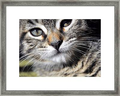 Tabby Kitten Framed Print by JAMART Photography