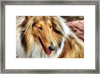 Taffy Collie Framed Print