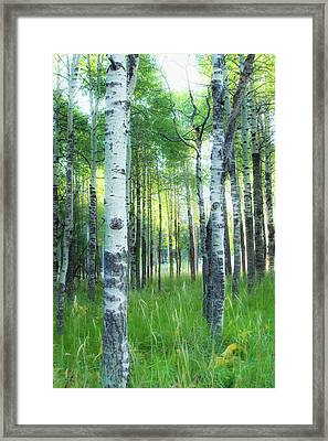 Tahoe Birch Framed Print by Wes Jimerson