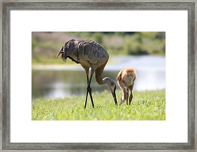 Tail Feathers Together Framed Print by Carol Groenen