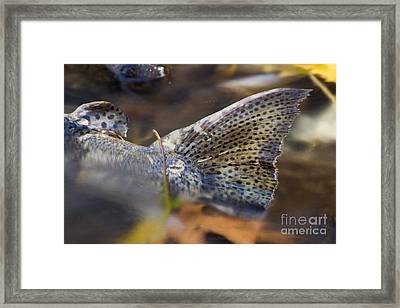 Tail Of A Dead Chinook Salmon Framed Print