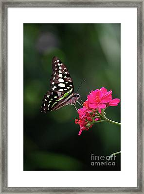 Tailed Jay Butterfly -graphium Agamemnon- On Pink Flower Framed Print