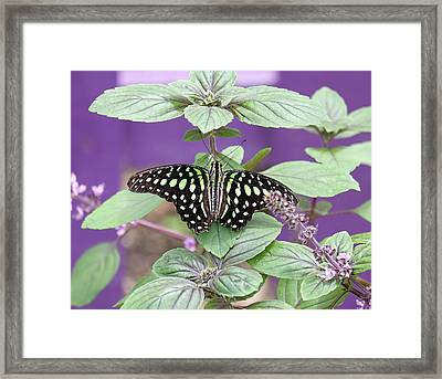 Tailed Jay Butterfly In Puple Framed Print