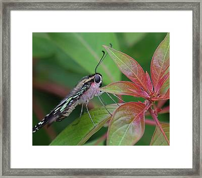 Tailed Jay Butterfly Macro Shot Framed Print