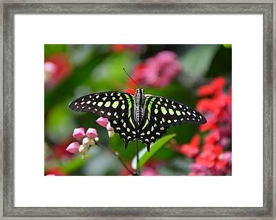 Tailed Jay4 Framed Print