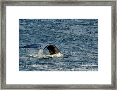 Tailfin Of A Southern Right Whales Framed Print by Sami Sarkis