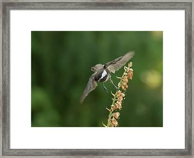 Chickadee In Flight Framed Print by Marilyn Wilson