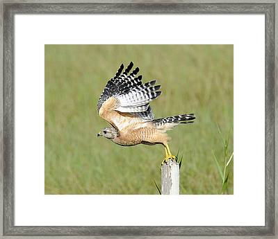 Taking Flight Framed Print by Keith Lovejoy