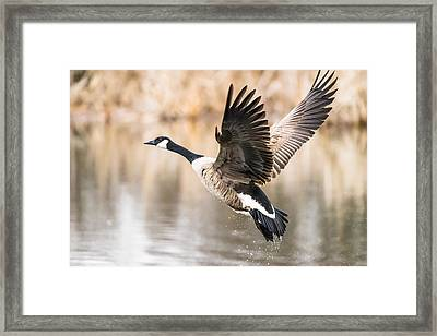 Framed Print featuring the photograph Taking Flight by Steven Santamour