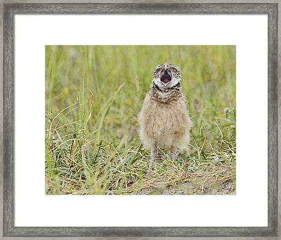 Talking Baby Burrowing Owl  Framed Print by Keith Lovejoy