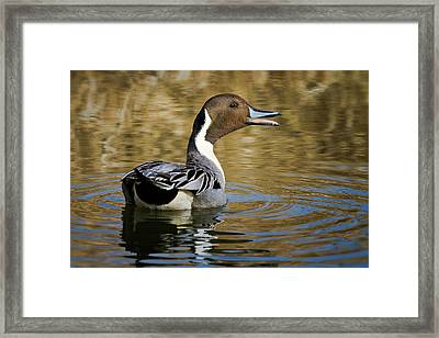 Talking Pintail Framed Print