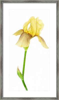 Tall And Graceful Yellow Iris Framed Print by David and Carol Kelly