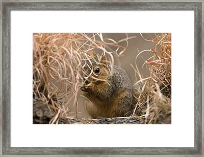 Tall Grasses Make Up A Fox Squirrels Framed Print by Joel Sartore
