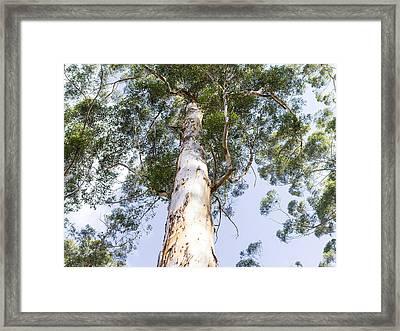 Tall Karri Tree Framed Print by Niel Morley