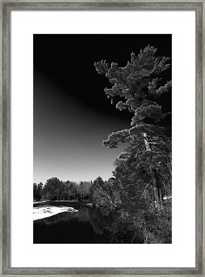 Tall Pine On The Moose Framed Print