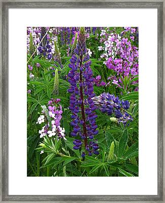 Tall Purple Luppin Framed Print by Melissa Parks