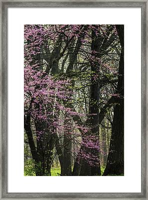 Tall Red Buds In Spring Framed Print by Joni Eskridge
