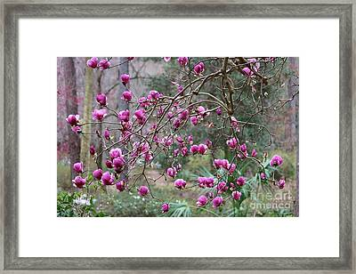 Tallahassee Treasures - Pink Magnolias Framed Print by Carol Groenen