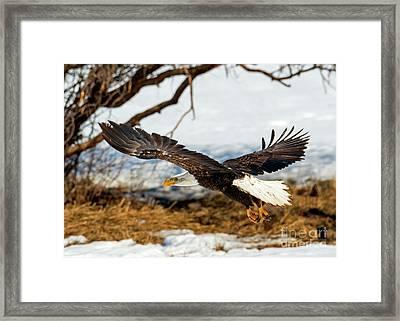 Talons Down Framed Print by Mike Dawson