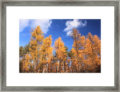 Tamarack Grove Framed Print by John Burk