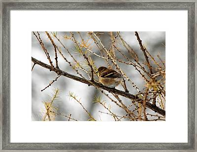Tamarack Visitor Framed Print by Debbie Oppermann