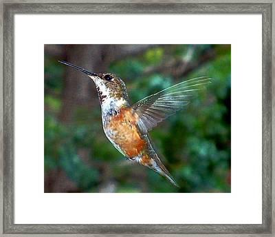 Framed Print featuring the photograph Tan Hummingbird by Joseph Frank Baraba