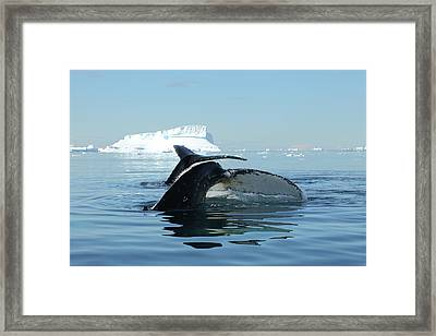Tandem Humpback Whale Flukes Framed Print by Bruce J Robinson
